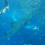 Photo of Okinawa Churaumi Aquarium