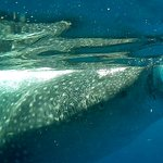 Foto de Isla Mujeres Whale Shark Tours by Searious Diving