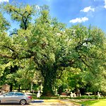 Full view of the Evangeline Oak,
