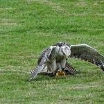 Hawk as it landed in the ate