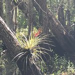 An air plant in bloom in the Everglades