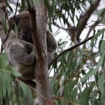 Koalas in the trees around the Visitor Centre