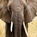 Look closely !! the tusk tell a tale - right handed or left handed - whats your thoughts ??