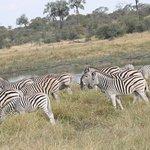 Zebra migration in the Makgadikgadi Pans