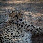 Bilde fra Ukutula Lion Park