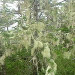 Bearded moss on the Cape Broyal Trail