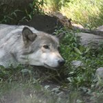 Billede af Lakota Wolf Preserve