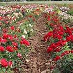 Visite en 2cv - Champ de roses.
