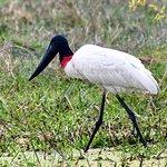 Wildlife Paraguay照片