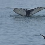 Humpback whale tail no. 2