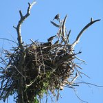 three bird hanging out in an empty osprey nest