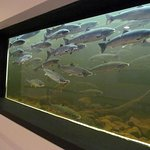 Get below ground to view the Atlantic Salmon swim the river on their way to the spawning grounds