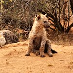 Young Hyena at a den in the Sabi Sands Game Reserve