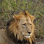 Male Lion in the Timbavati Game Reserve