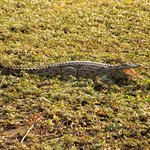 a Baby crocodile in the Kruger National Park