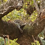 Leopard Sleeping after killing an impala & dragging it up a tree. Kruger national Park Near Phab