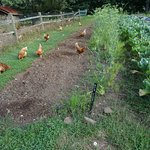 Chickens and bulb fennel