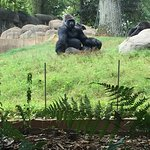 Zoo Atlanta Gorilla! Great exhibit and there was even a baby gorilla. #onlyzooatl