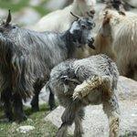 Sheep Lahaul Valley