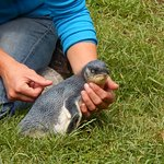 Little Blue Penguin about to be released