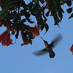 Hummingbird checking out honeysuckle flower