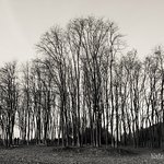 Tall Trees, in Winter
