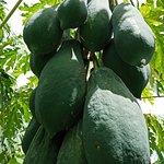 Green papaya (Gears, Grapes and Vineyards tour)