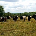 Our cattle on Cressbrook Dale