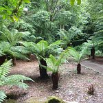 exotic tree ferns