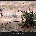 Cheetah near termite/tree@ 625 metres, 10x50 Hensoldt, Hasselblad 350mm Digital Backp25