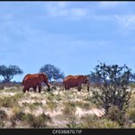 The famous red Elephant of Tsavo