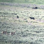 Screenshot from a video. Wolves and pronghorns having a mixer. Bison in background unimpressed.