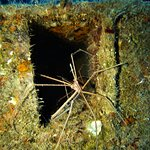 Spider-crabs on Lady Luck