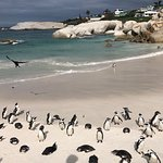 Penguins in Boulders beach.