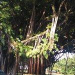 Unique Banyan Tree