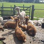 Φωτογραφία: Lucky Tails Alpaca Farm