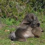 Baboon having a relaxing time at Cape Point