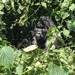 Gorilla tracking in Bwindi national Forest