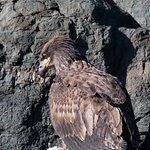 young eagle with a catch