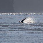 dolphin hassling the orcas