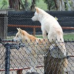 Dingos who have a friendly disposition