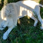 Gorgeous white lion as seen from the walkway above their enclosure