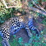 The leopard we met when he was just a cub