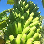 Organic Bananas grown on our mainland farm for your smoothies and our famous Banana Cake!