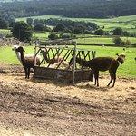 Photo de Nidderdale Llamas
