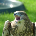 Falconry UK Thirsk Birds of Prey Centre