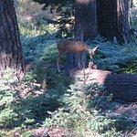 Doe in Muir grove