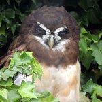 Spectacle Owl - Parque Condor