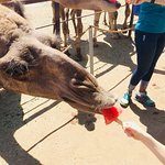 Oasis Camel Dairy Foto