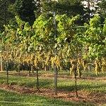 Foto de JOLO Winery & Vineyards